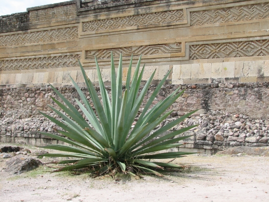 Agave in Mitla